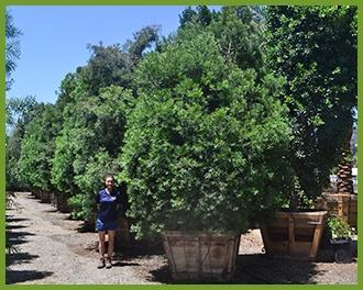 podocarpus.jpg