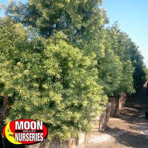 podocarpus_4