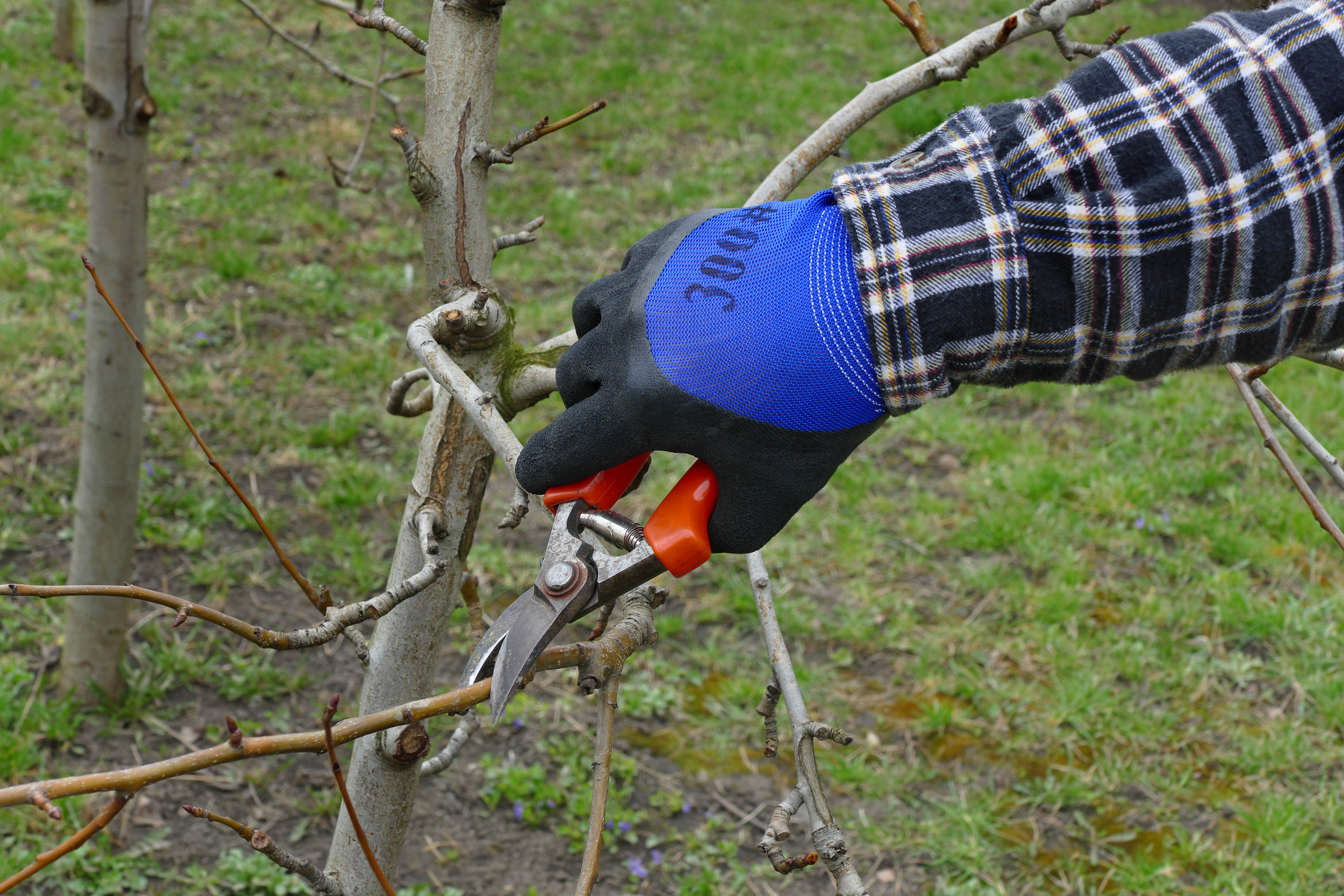 pruning_deciduous_trees