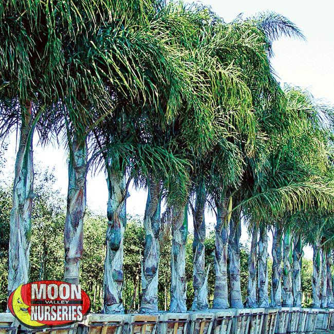 queen palms-1