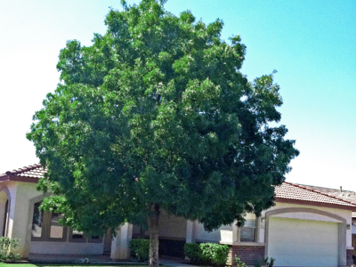 raywood ash tree in front yard landscape