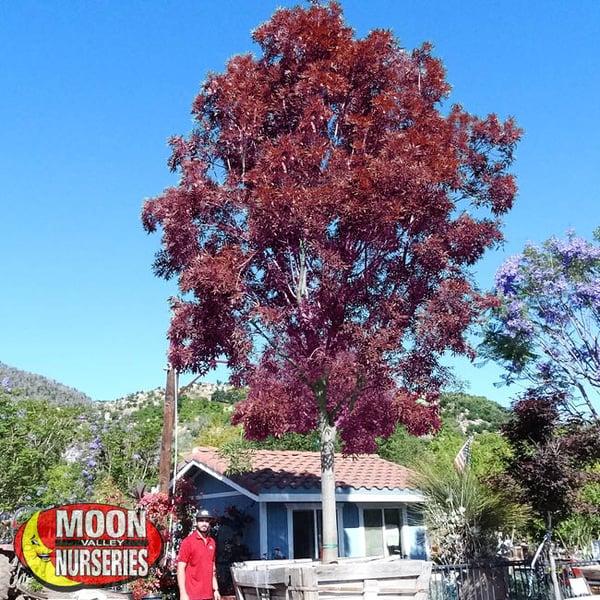 raywood ash tree, fall trees, trees, moon valley nurseries