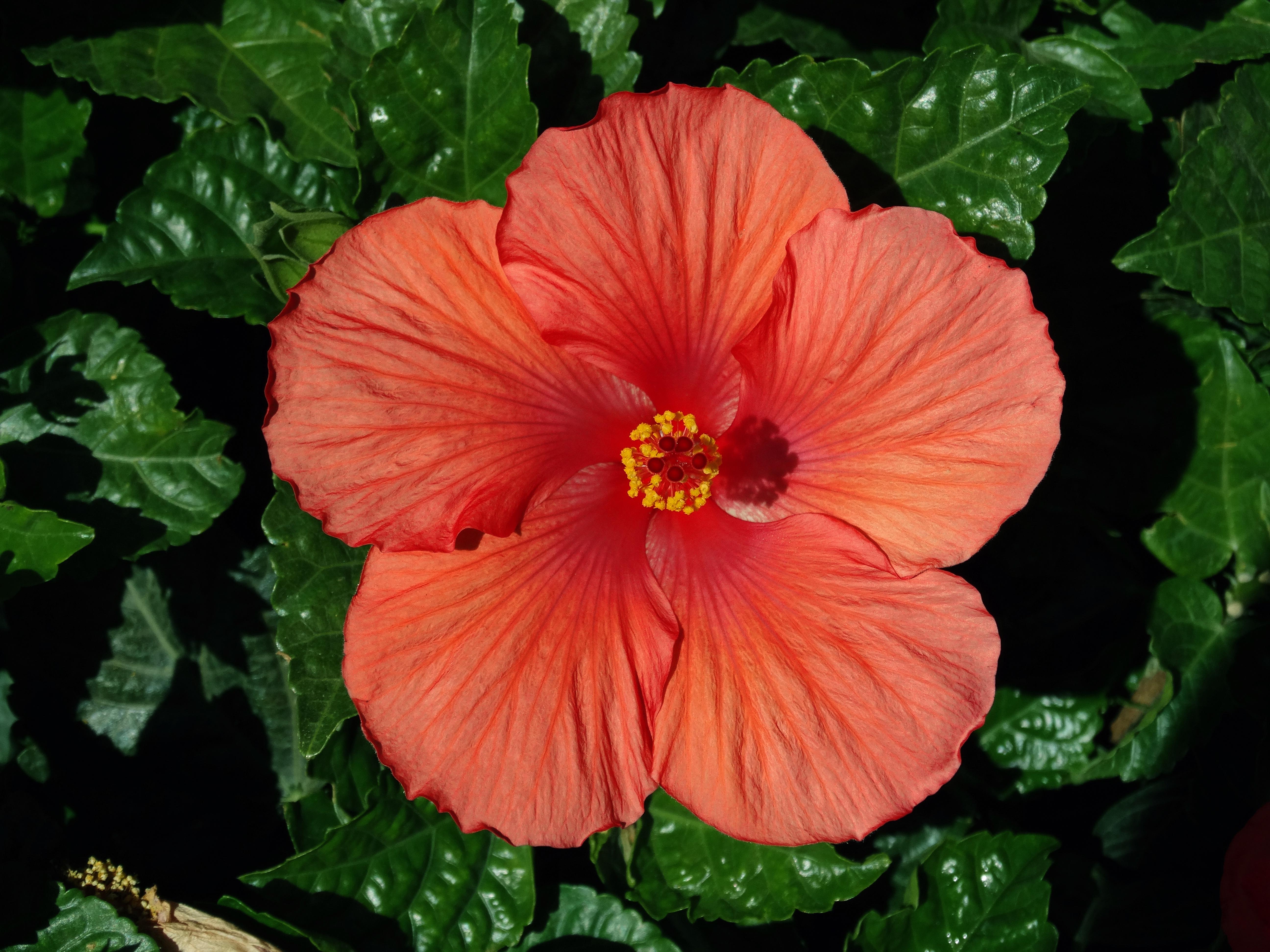 red_hibiscus