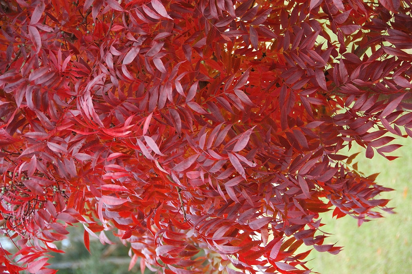 red_push_pistache_fall_color