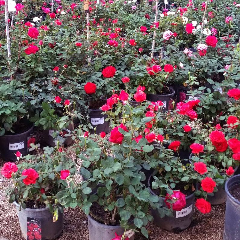 roses_.png