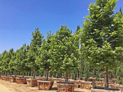 Arizona sycamore tree box-grown at nursery