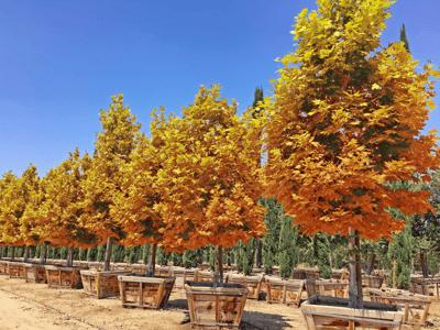 Arizona sycamore tree with bright yellow and gold fall foliage