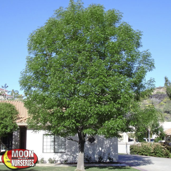 shamel 'evergreen' ash moon valley nurseries