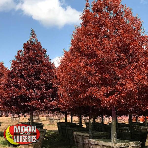 shumard oak, oak trees, fall trees, moon valley nurseries