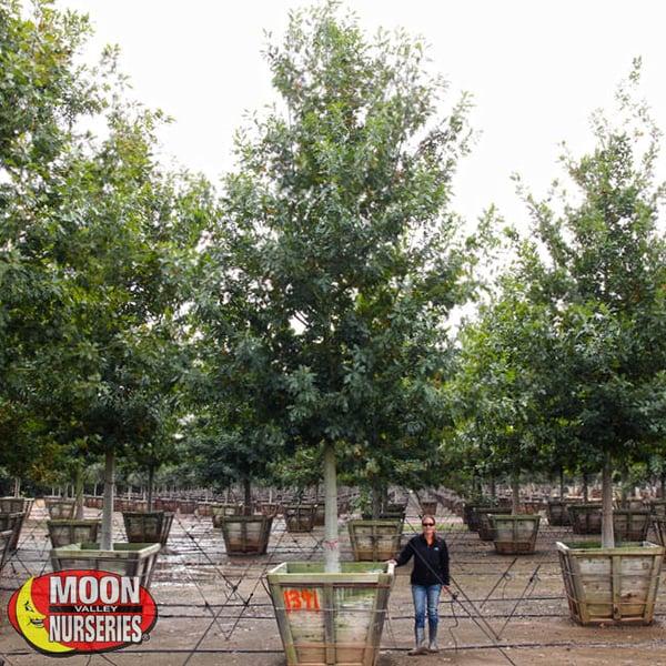 shumard oak moon valley nurseries texas