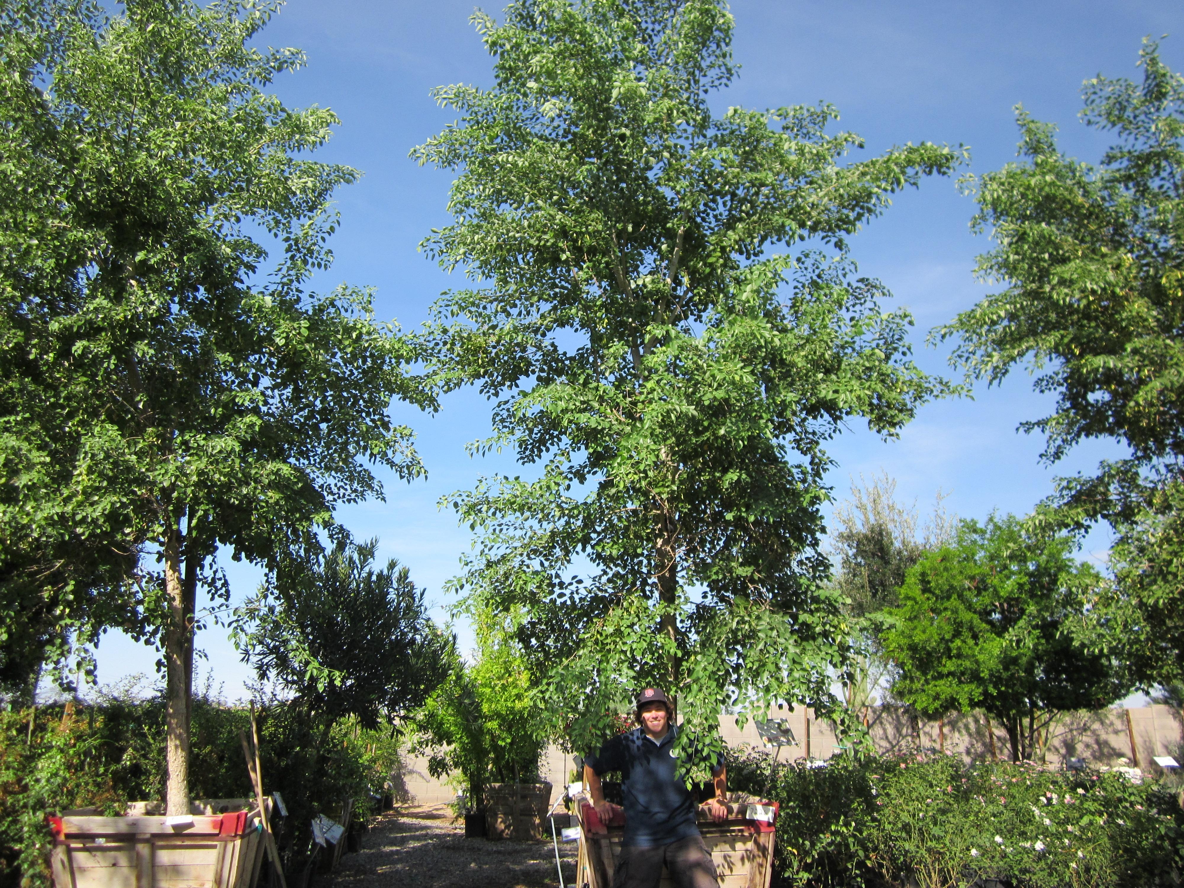 sissoo_trees
