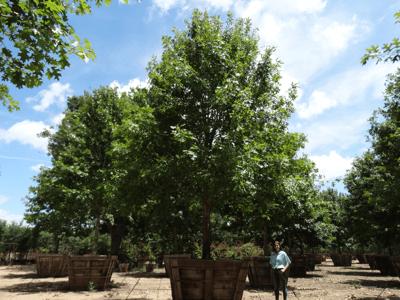 shumard oak tree at nursery