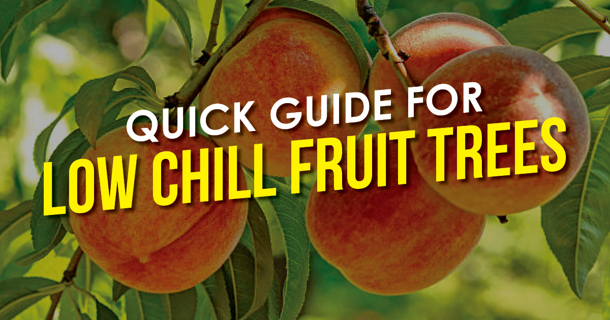 Quick Guide for Low Chill Fruit Trees text on image peaches