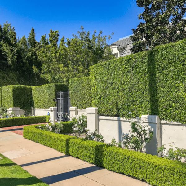 Hollywood Hedge landscape