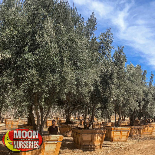 MANZANILLO OLIVE tree in nursery