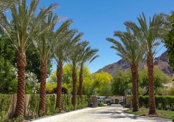 date palms lining a driveway