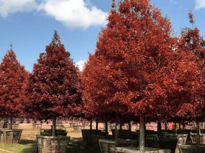 red fall foliage on shumard oak tree