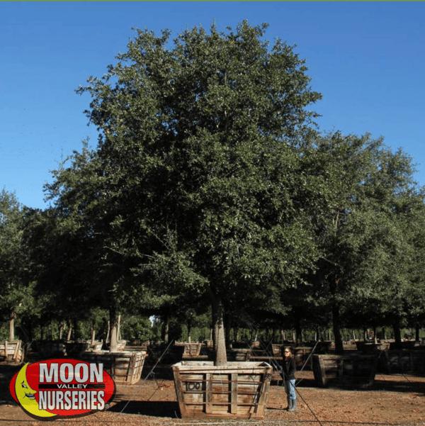 southern live oak oak tree moon valley nurseries