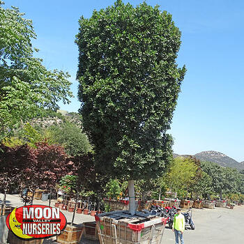 specimen trees, moon valley nurseries