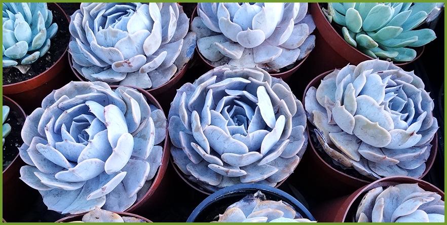 succulent-1.png