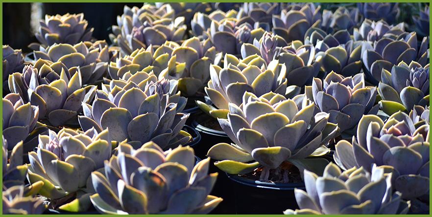 succulents-1.png
