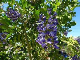 5 best purple flowering trees texasmtnlaurelbloomg mightylinksfo