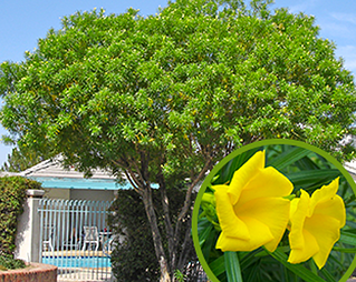 Moon valley nursery blog flowering trees thevetia thevetia peruviana also known as yellow mightylinksfo