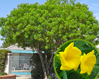 5 best yellow flowering trees thevetia thevetia peruviana also known as yellow mightylinksfo