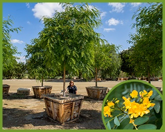 Top trees for yellow flowers in spring and summer all of the trees below produce great yellow flowers so if you want that youre covered on this blog post if youre looking for both shade and color mightylinksfo