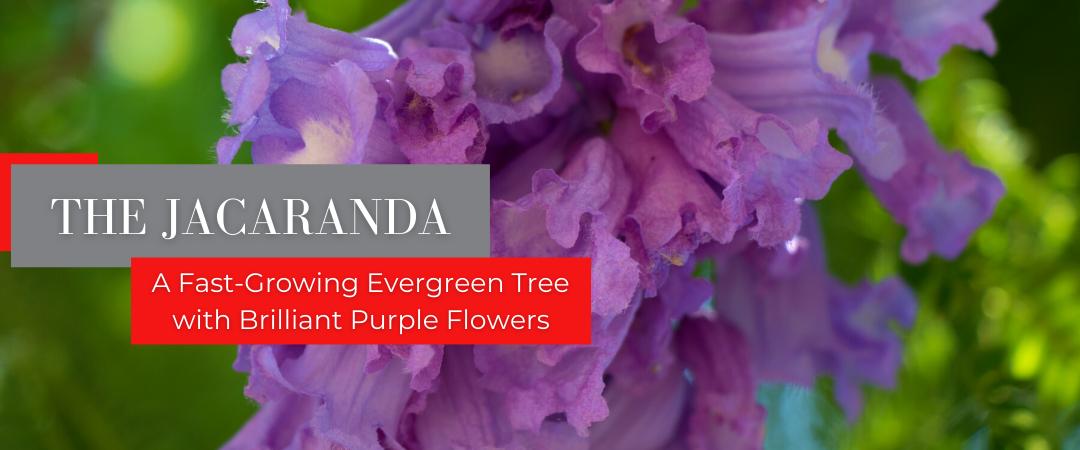 jacaranda flowers header