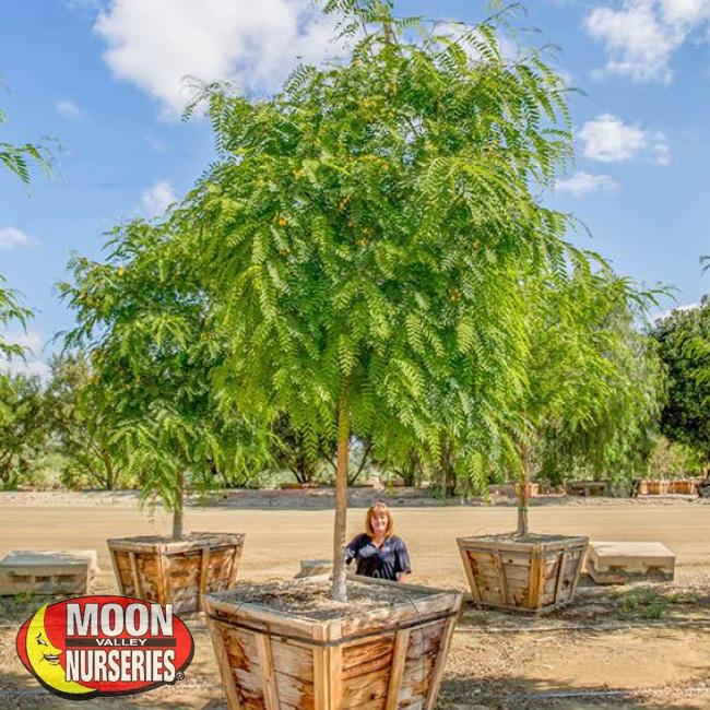 tipu tree (2)