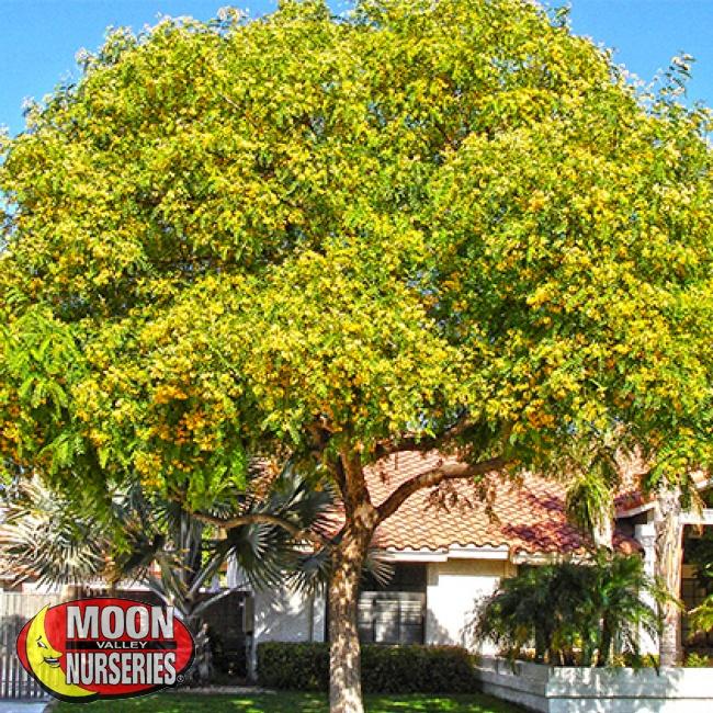 tipu tree blooms