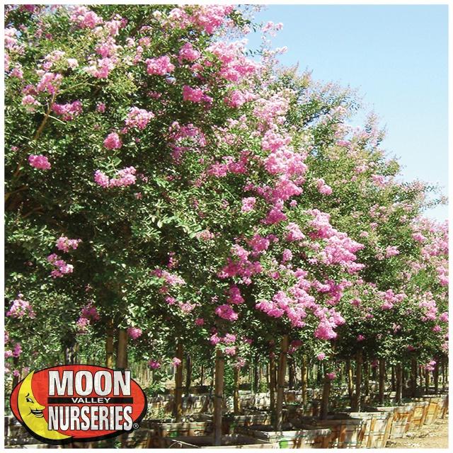 pink crape myrtle blooming