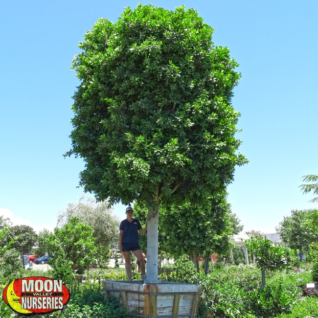 42Box-Ficus-Nitida-with-Person