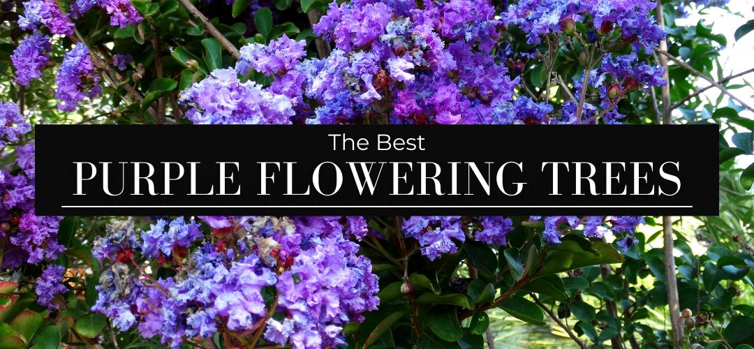 The Best Purple Flowering Trees