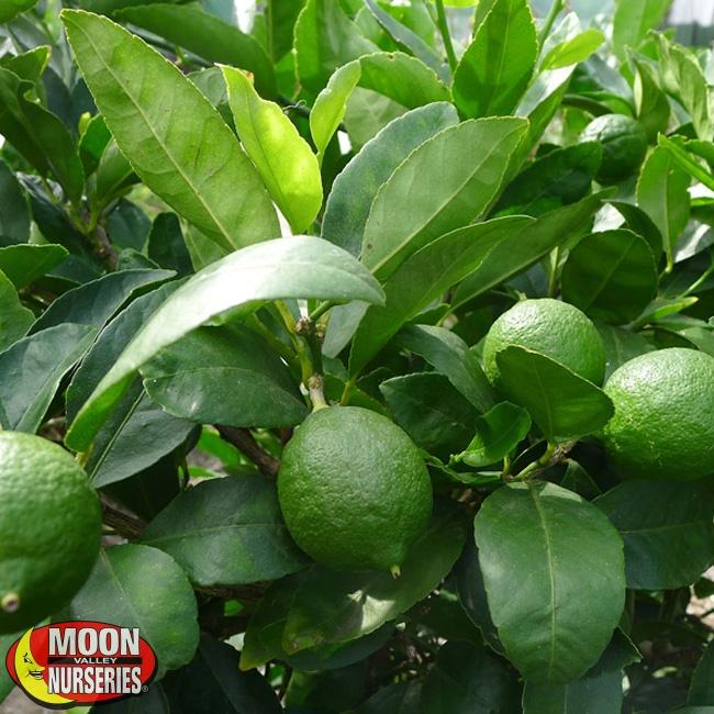 650x650-Limes-on-Tree