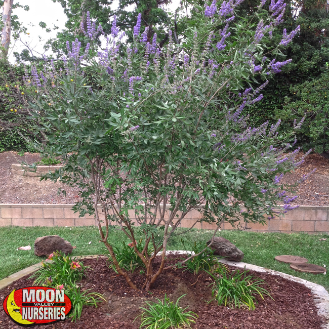Vitex-in-Landscape-650x650