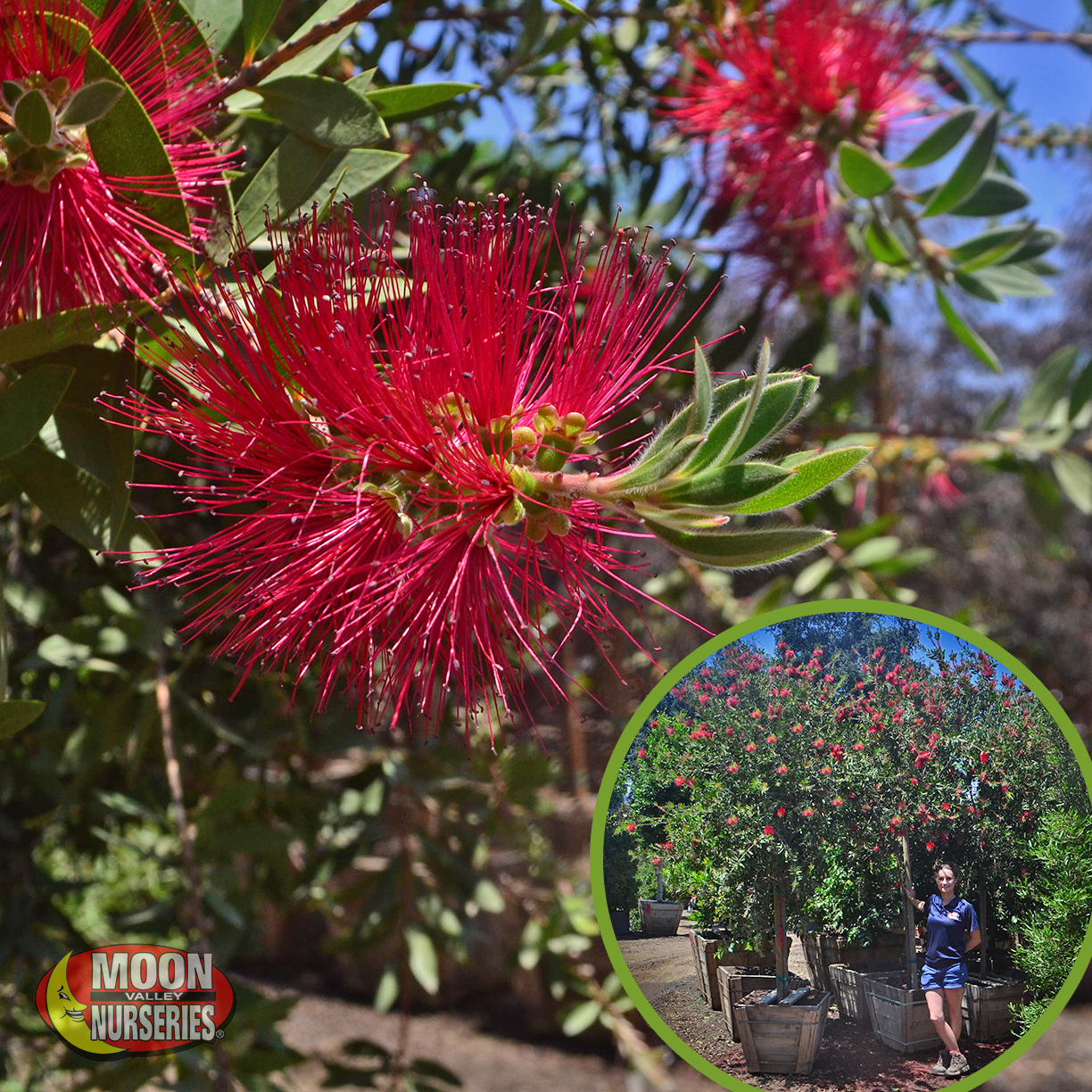 Bottlebrush-3
