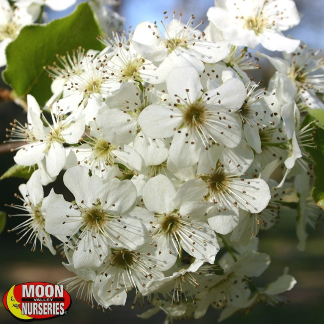 Bradford-Pear-Flower_