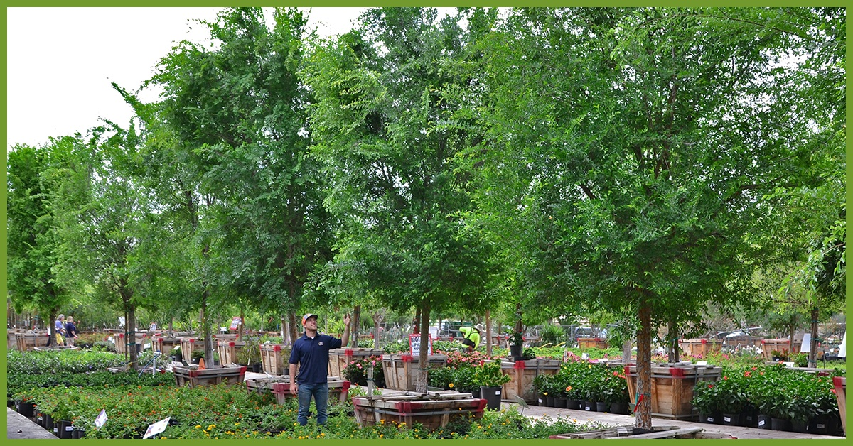 Chinese-Elm-2