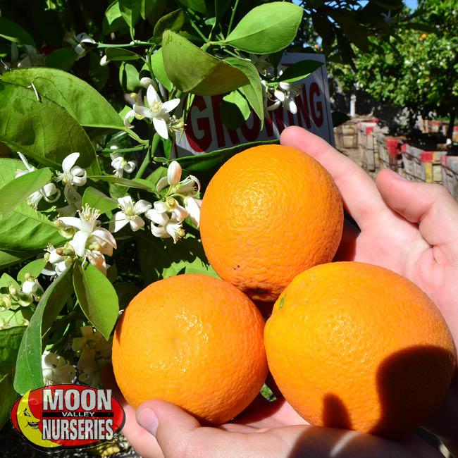 Citrus-5