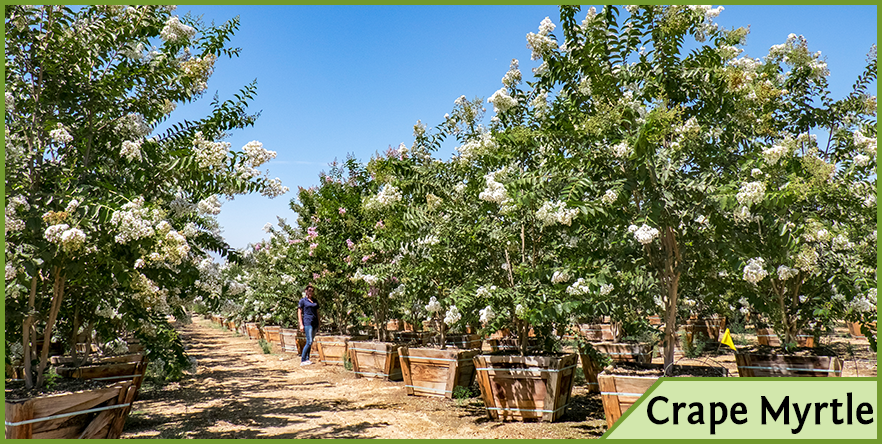 Top trees for white flowers in spring and summer crapemyrtlewhiteflowersg flowering trees mightylinksfo