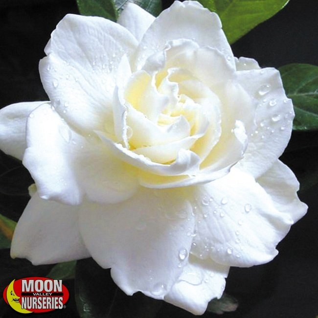 Gardenia_largeflower_MVN_650x650