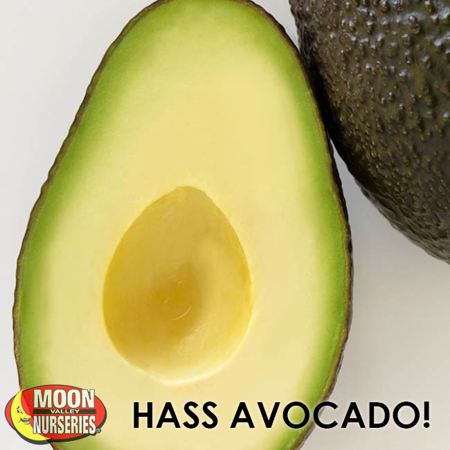 HASS_AVOCADO_650x650-2