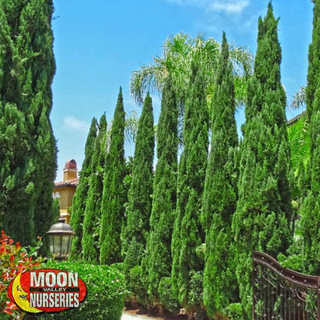 ITALIAN CYPRESS,  moon valley nurseries, landscape design, tree nursery, arizona, hedges