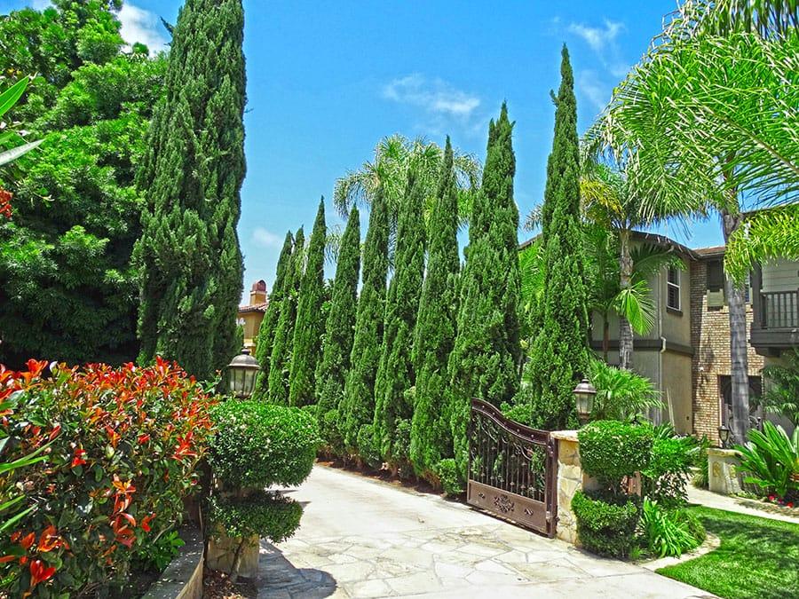 Italian Cypress Lining Driveway_edited (2)