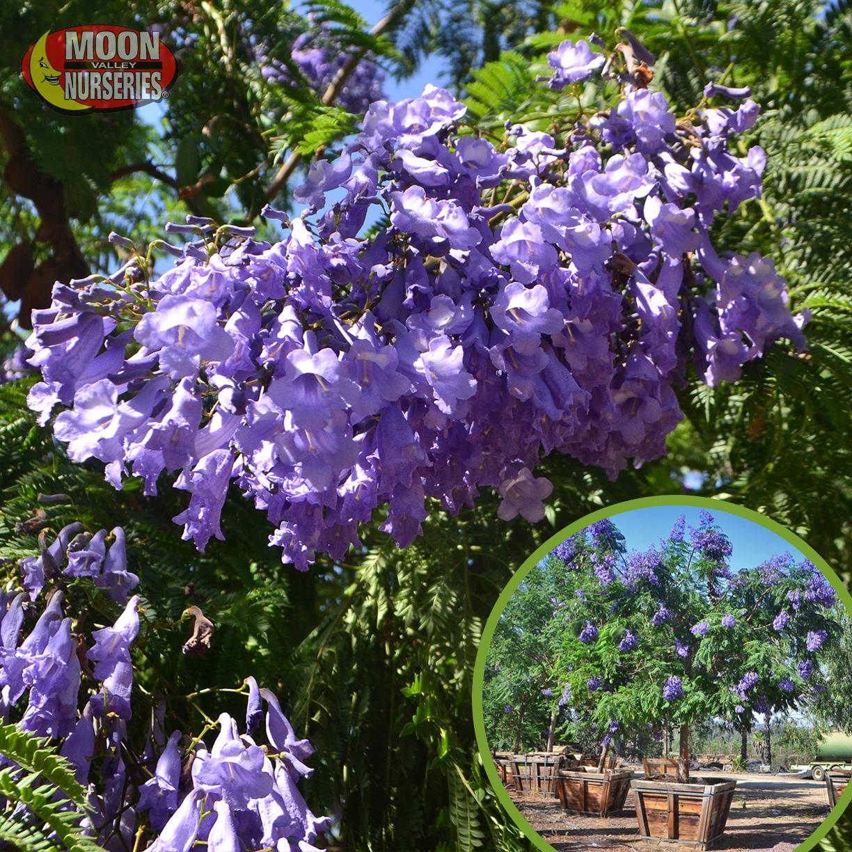 5 best purple flowering trees we can enjoy the beautiful sight of purple flowering trees on any size landscape it is true we can still enjoy all the benefits of these flowering trees mightylinksfo