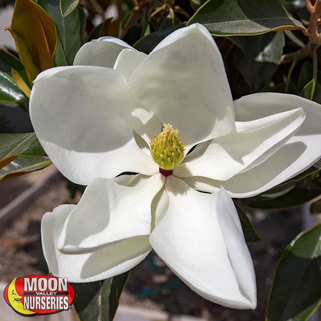 MAGNOLIA_FLOWER_650x650