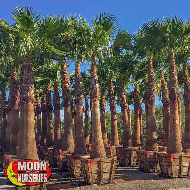 Mex Fan Palm