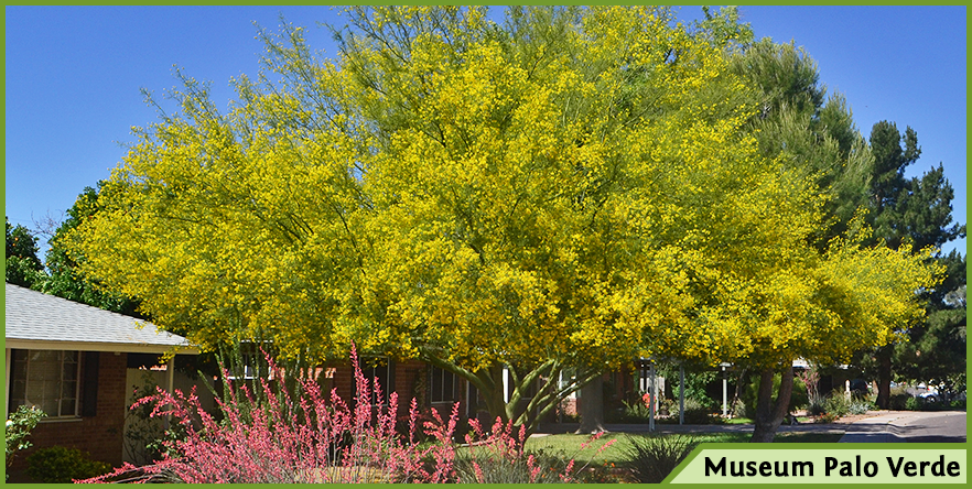 Top trees for yellow flowers in spring and summer tipu museum palo verde thevetia and more mightylinksfo